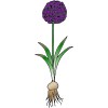 Allium Picture
