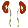 Kidneys Picture