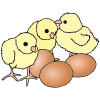 baby chicks Picture