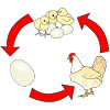 Chicken Life Cycle Picture