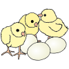 baby+chicks Picture
