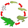 Frog Life Cycle Picture