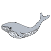 baleen whale Picture