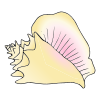 conch shell Picture