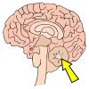 Cerebellum Picture